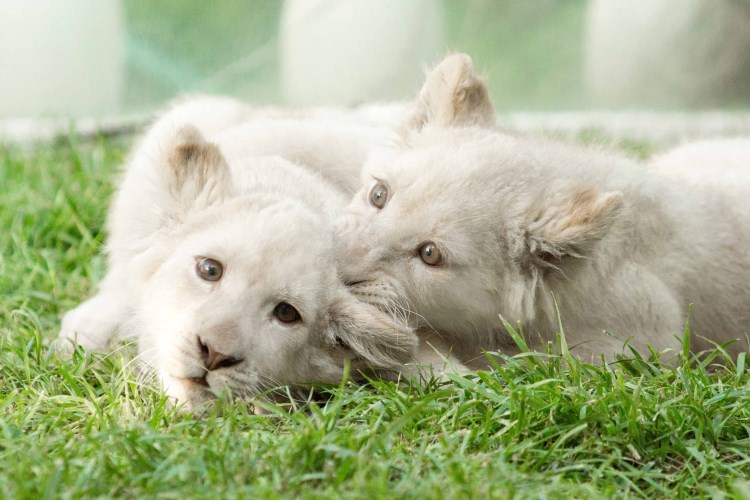 Mirage Las Vegas - White Lion Cubs