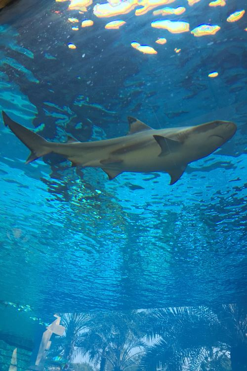 Requin à l'Aquaventure Waterpark de l'Atlantis
