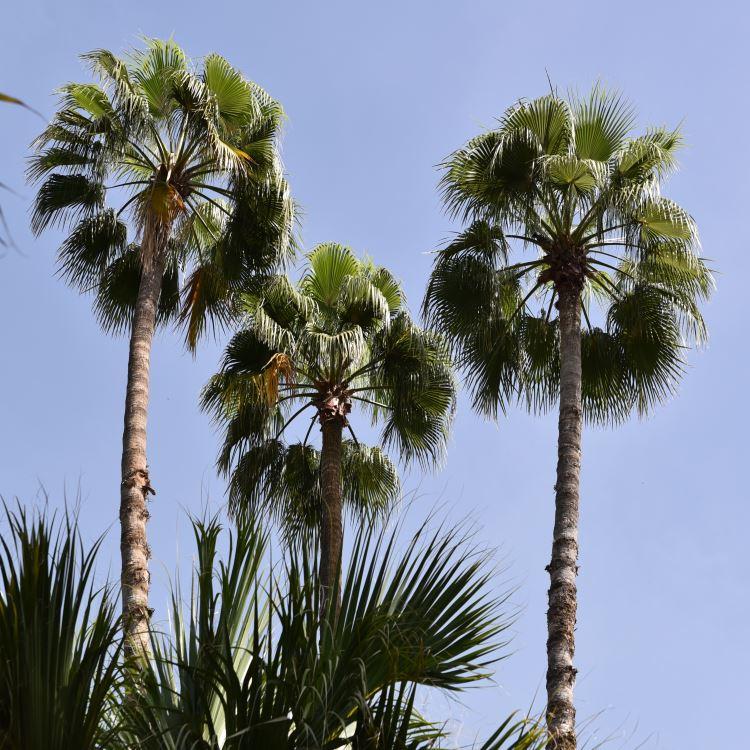 Majorelle Garden Marrakesh palm trees