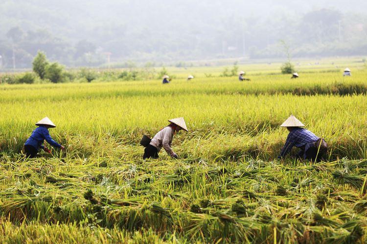 Champs de riz Mai Chau Valley Vietnam